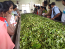 Visiting a tea factory