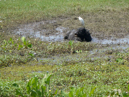Water Buffalo and Cattle Egret