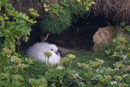 Fulmar Chick, Mousa