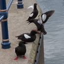 Black Guillemots in Bangor